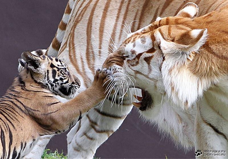Зарисовки из жизни тигрицы Ситы