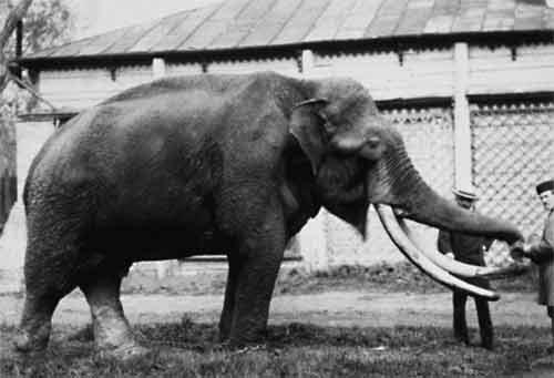 Слон, подаренный зоосаду императором Александром II. 1870