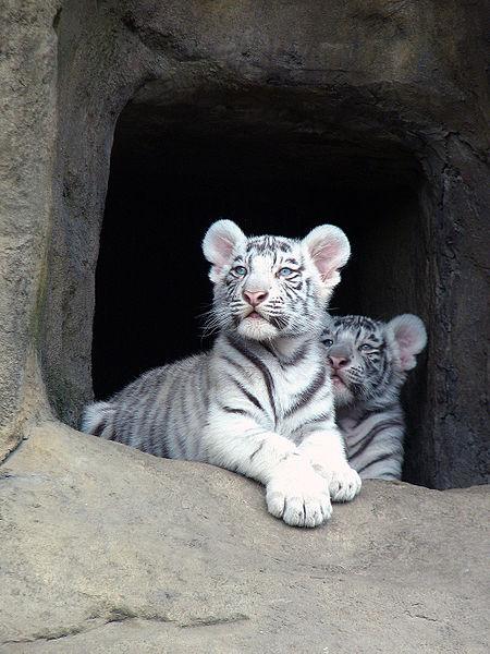 450px-Тигрята-альбиносы_01