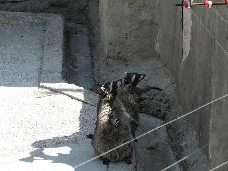 800px-Racoons_msc_zoo