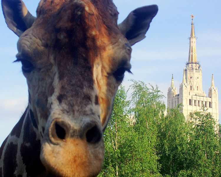 Giraffa_Samson_(Moscow_Zoo)