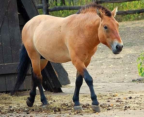 Warsaw_ZOO_-_Equus_Przewalskii